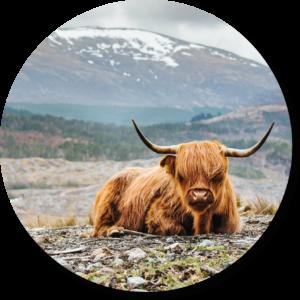Muurcirkel Schotse hooglander liggend | Forex | 80 cm |