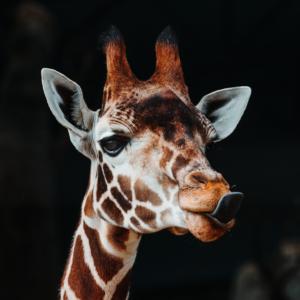 Tuinposter Giraffe | Uniek