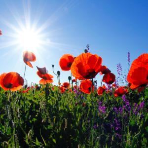 Tuinposter Klaprozen met blauwe lucht
