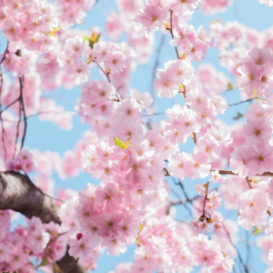 Tuinposter Roze Bloesem