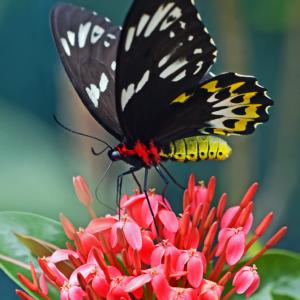 Tuinposter Zwarte Vlinder
